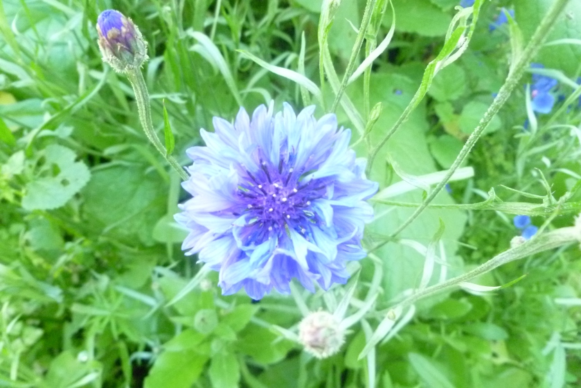 Cornflower from my garden https://en.wikipedia.org/wiki/Bleuet_de_France